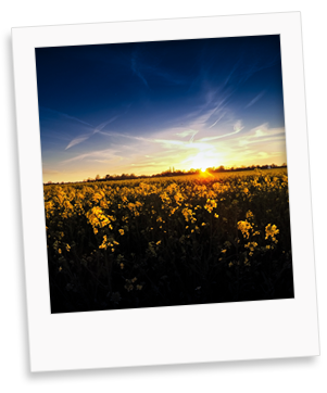 rapeseed sunset