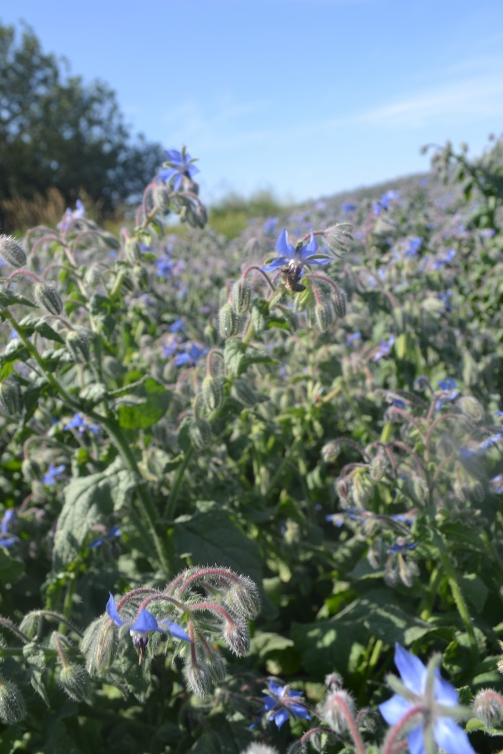 Field of borage flowers